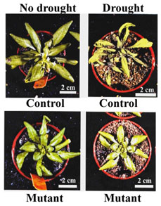 Drought resistant model plant developed